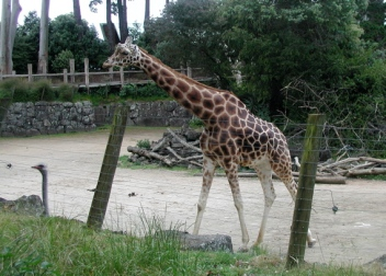 emu and giraffe