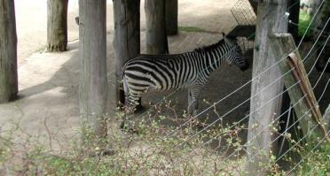 feeding zebra