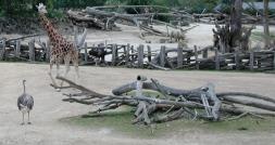 giraffe and emu