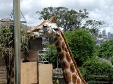 Giraffe Feeding Time