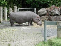 hippo contemplating