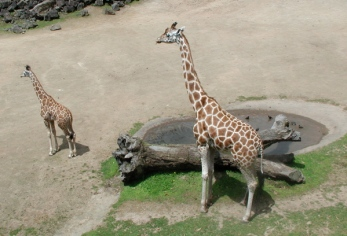 mom and kid giraffe