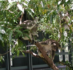 more_sleepy_koalas