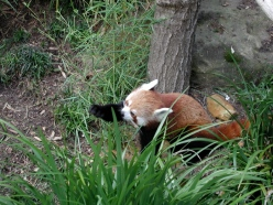 One Red Panda