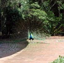 peacock_spreading_her_fan