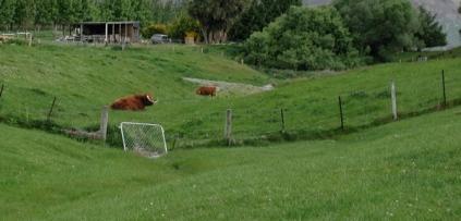 resting_bison