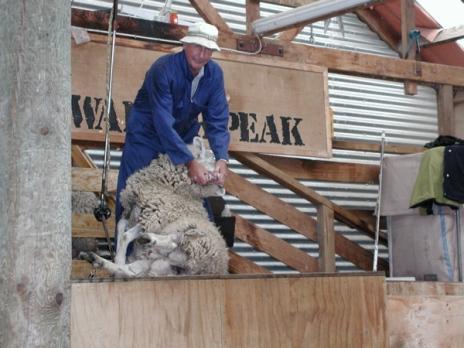 shearing_a_full_coat