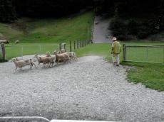 shorn_sheep_coming_into_the_pen