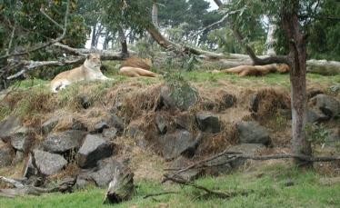 sleeping lion pride