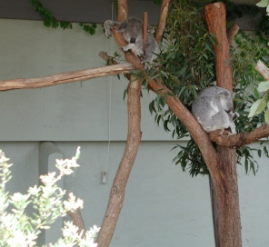sleepy_koalas