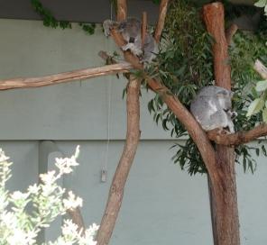 sleepy_koalas
