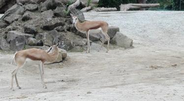 sort of antelope