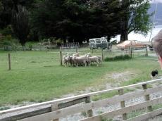 those_sheep_like_to_stay_close