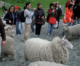 viv_with_the_sheep