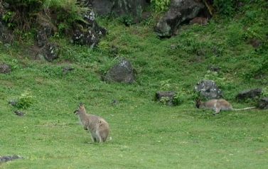 wallabies-sating-their-munchies